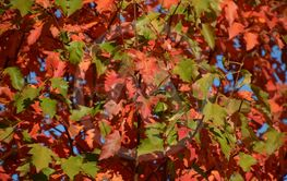 close-up of autumnal colored deciduous tree background,...