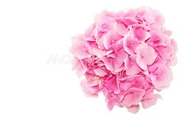 Top view of fresh hydrangea flower isolated on white...