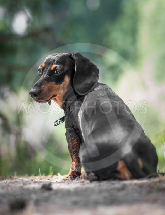 dachshund stay on the grass and looking back in the forest