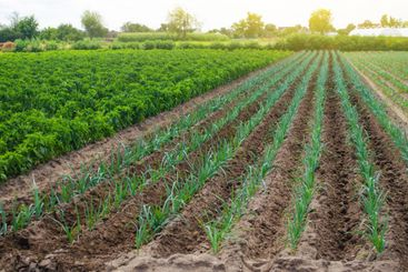 A field of young green leek plantations. Growing...