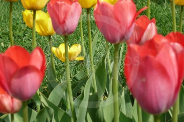 red and yellow tulip at spring day