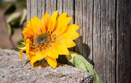 Bright yellow sunflower in front of a wooden post