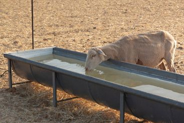 Sheep drinking in a pool in a dry cereal field