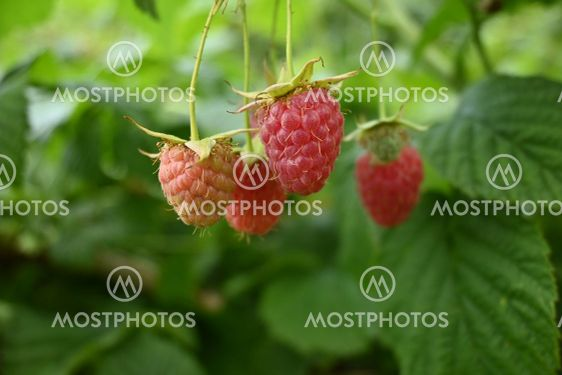 A Bunch of Red Raspberries on a Raspberry Plant Branch