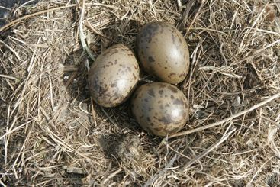 Three seagull eggs