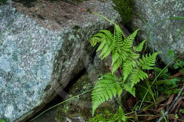 fern leaves and rocks in the forest