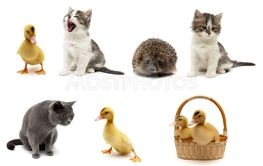 Cats, ducklings and hedgehog on a white background.