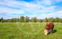 Grazing Beef cattle on a grass field