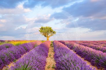 Lavender fields near Valensole in Provence, France on...