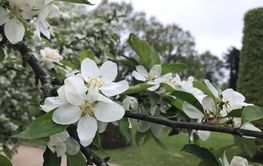 The apple white flowers in park