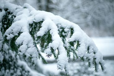 Details of Christmas tree branches covered with snow