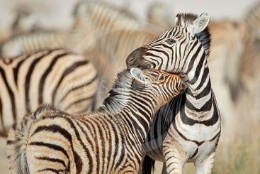 Plains zebras - Etosha National Park