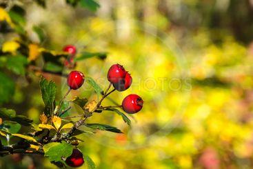 Mogna röda hagtornsbär på en buske