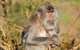 Balinese long-tailed monkey - Indonesia