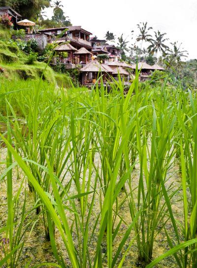 Green rice plantation detail