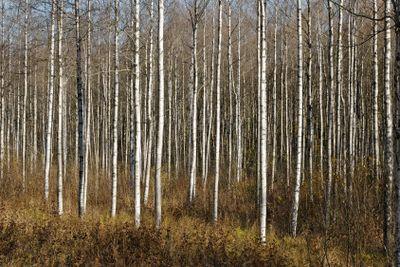 Birch Thicket