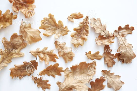 Dried autumn oak leaves on a white background. Natural...