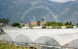 tomato plants growing inside big industrial greenhouse....