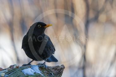 Mr Blackbird and the Peanuts