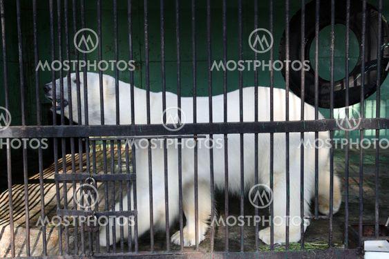 Valkoinen bear häkissä