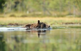 brown bear swimming in a water
