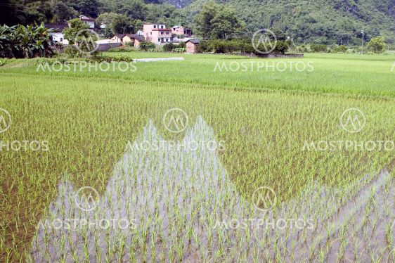 Ris felter med refleksioner