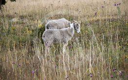 Får i högt gräs med sommarblommor på Öland
