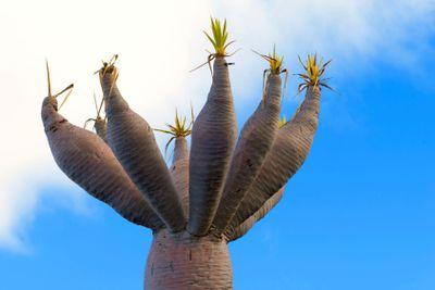 canary islands, la palma, flora : dragon tree