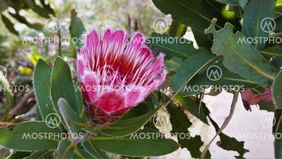 Protea flower close up.
