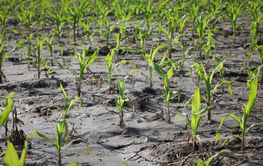Small corn plants in field after flood