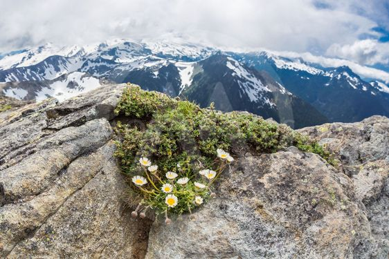 Alpine daisies at the peak Mt. Freemont