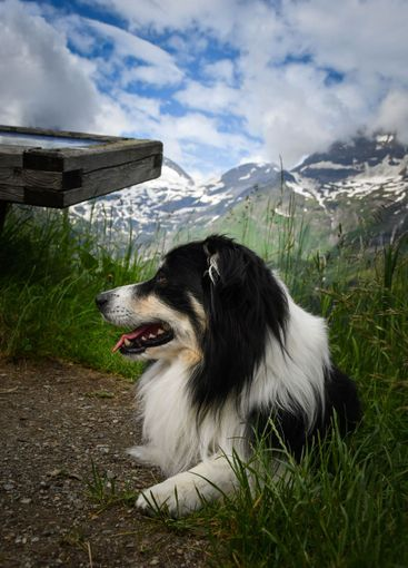 Portrait of border collie is lying in austria nature