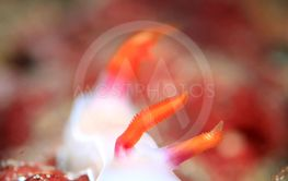 Hypselodoris Bullockii Nudibranch