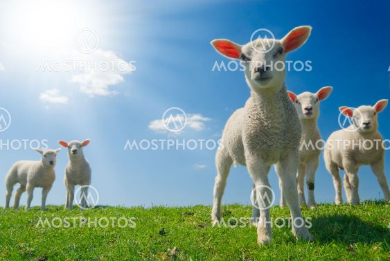 curious lambs in spring