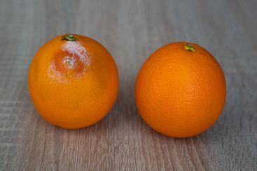 One mouldy rotten and one fresh orange fruit