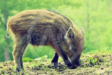 Beautiful little pig wild in nature. Wild boar. Animal in...