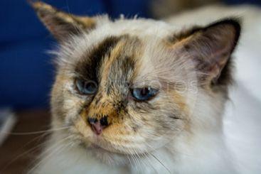 katten med blå ögon