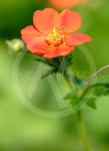 close up of one flower of geum growing against blurred...