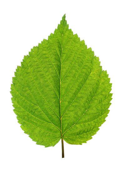 green leaf of birch tree