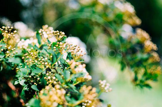Spirea Bush white flowers closeup