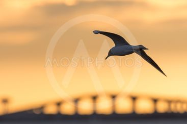 Skrattmås i solnedgången vid Ölandsbron