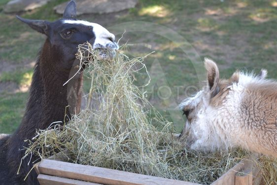 Image result for llamas eating