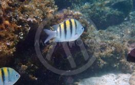 small stripy fish next to the corals