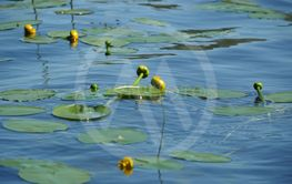 flowers yellow water lily flowers on blue water