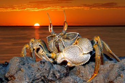 Ghost crab on rocks