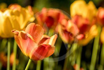 Tulips in the Park in St. Petersburg.