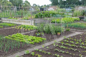 Allotment garden in spring with potatoes and onions