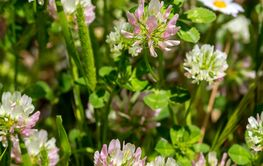 Clover (Trifolium pratense) grows and blooms in the...