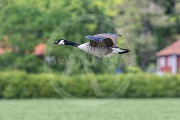 Canada Goose flying over farmland in side view