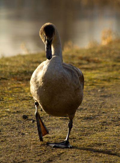 Young Swan II